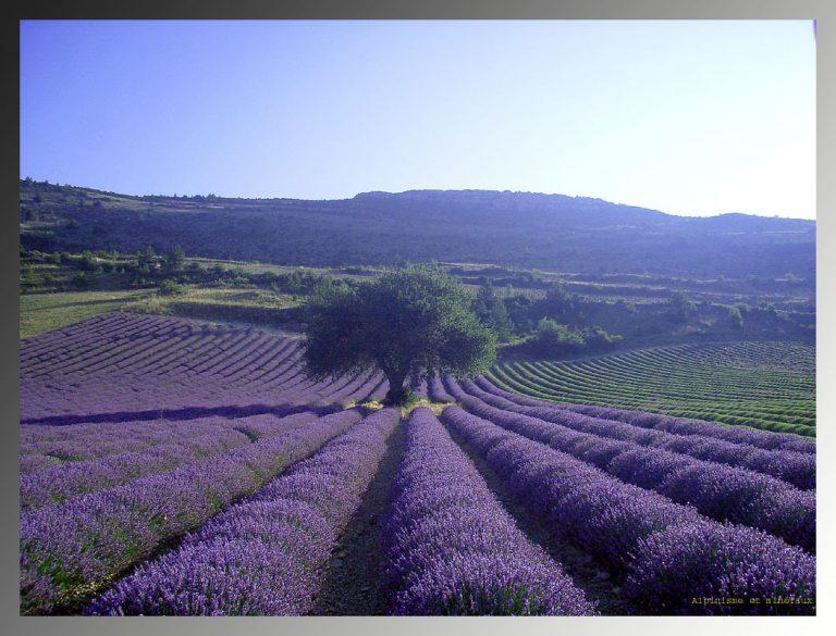 photo photo paysage lavande